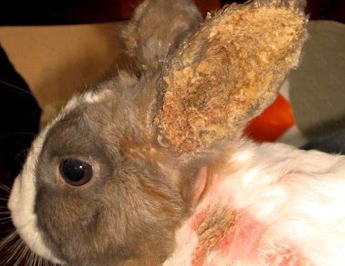 Язвы и гнойники на ухе и шее кролика при отодектозе запущенной стадии