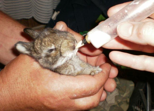Отпаивание маленького кролика во время лечения в домашних условиях