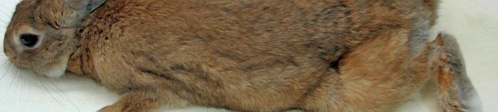 Паралич у бурого кролика при листериозе