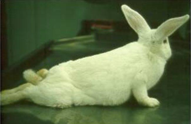Белый кролик с признаками поражения листериозом