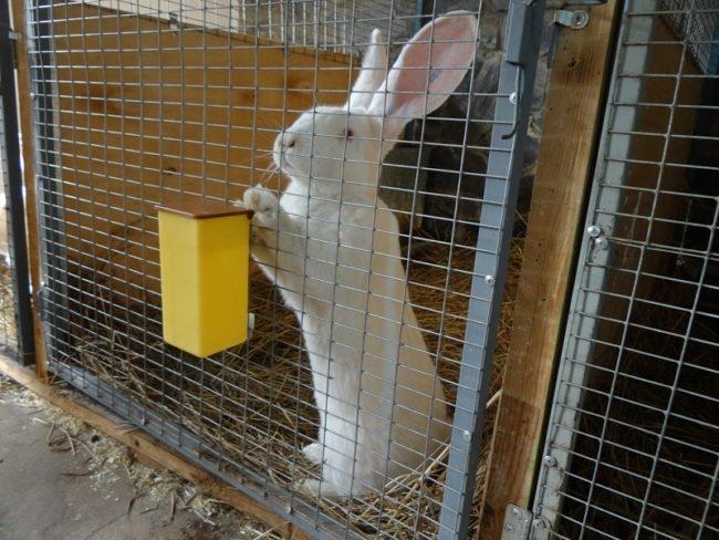 Племенной кролик белого окраса в месячном карантине после покупки на рынке