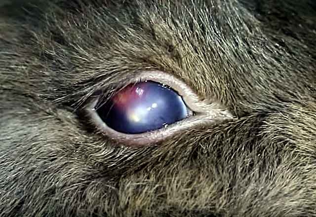 Глаз молодого кролика с красноватым пятном при конъюнктивите