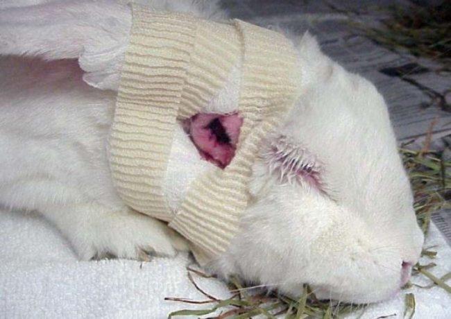 Белая мордочка кролика со специальной повязкой после хирургического удаления абсцесса