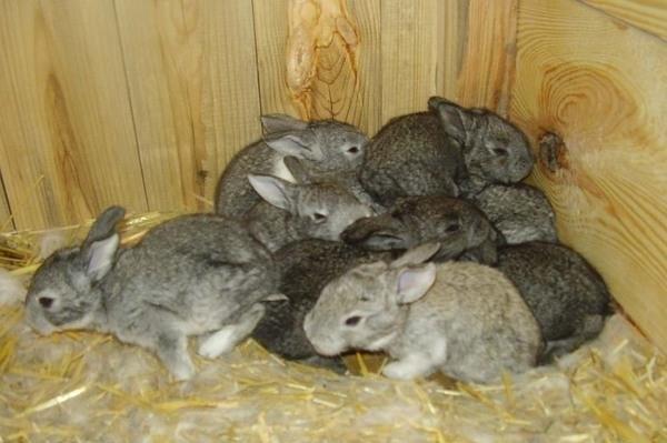 Кролики с серым мехом в общем загоне с дощатыми стенами