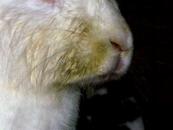Мордочка кролика со следами перенесенного инфекционного стоматита