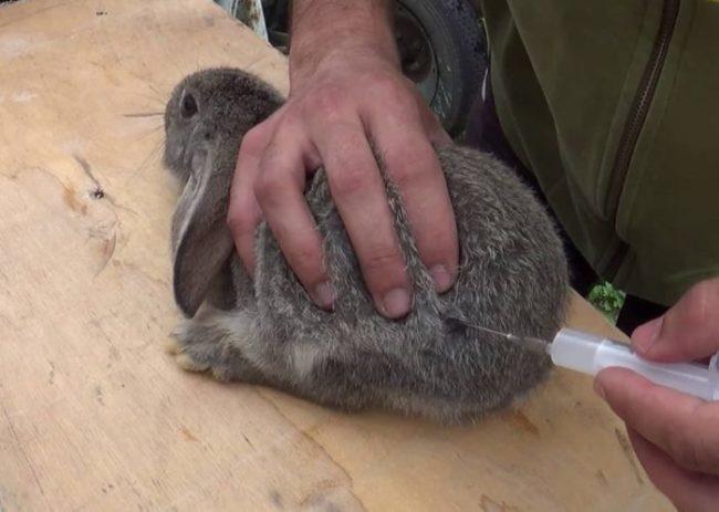 Укол с антибиотиком больному кролику при инфекции пищеварительного тракта