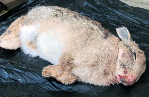 Мертвый кролик через неделю после заражения колибактериозом