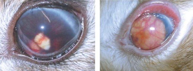 Симптомы увеита на глазных яблоках кроликов при занесении инфекции