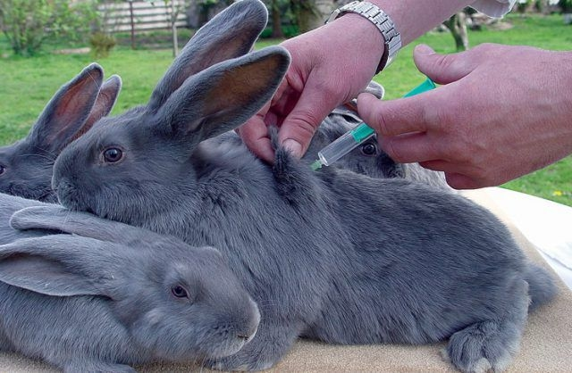 Введение кролику вакцины от миксиматоза с помощью медицинского шприца