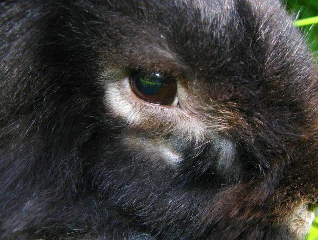 Мордочка декоративного кролика после удачного лечения абсцесса