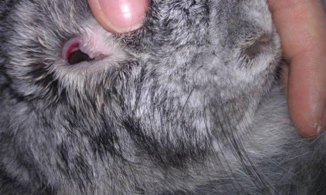 Симптомы язвы роговицы глаза кролика вследствие травмы
