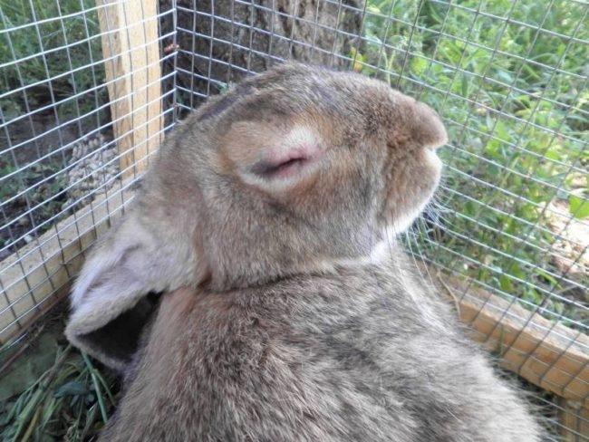 Серый кролик в клетке из металлической сетки с признаками ВГБК