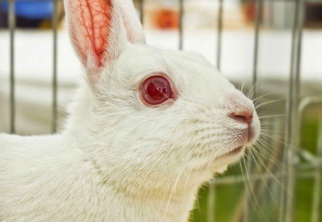 Мордочка белого кролика со здоровыми чистыми глазами