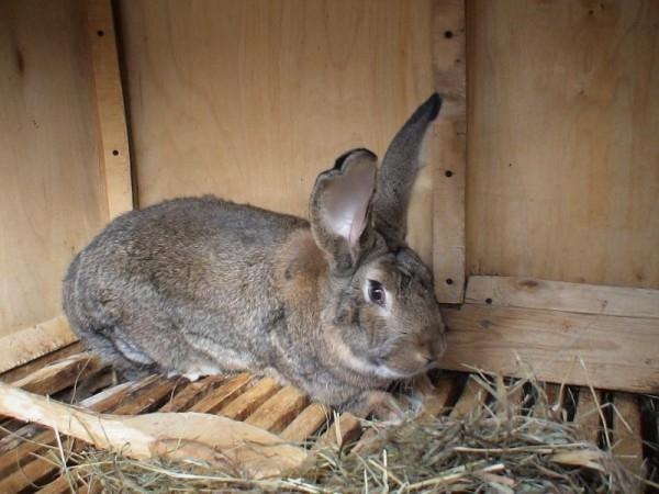 Здоровый кролик в чистой клетке из фанеры и деревянных реек