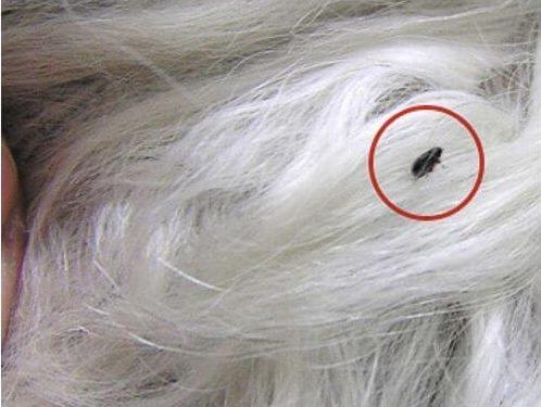 Маленькая черная блоха среди шерсти кролика пуховой породы