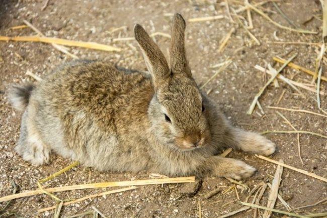 Кролик серого окраса с подозрением на чумку или другое вирусное заболевание