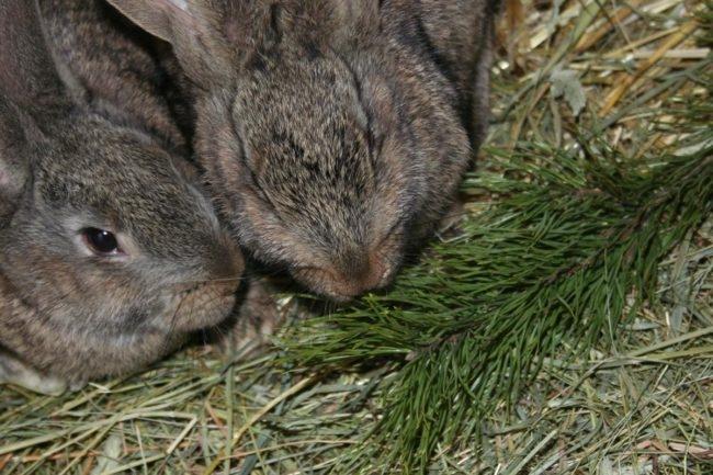 Кормление серых кроликов сосновыми зелеными ветками