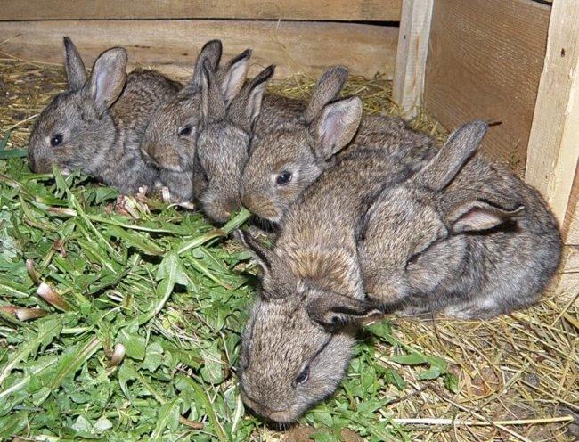Кормление молодых крольчат сочной ботвой одуванчиков в общей деревянной клетке