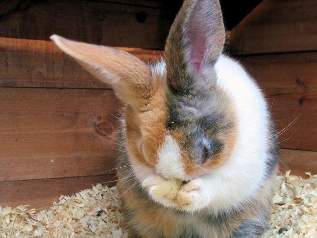 Пятнистый кролик нервничает и чешется от укусов блох