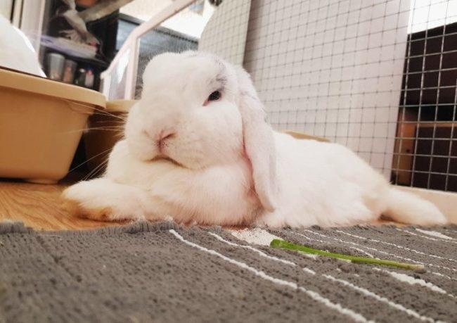 Кролик с белым мехом на сером коврике в квартире панельного дома