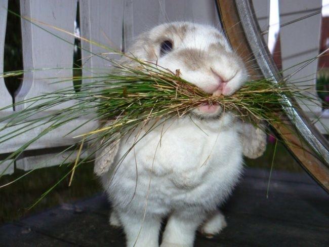 Декоративный кролик с пучком слегка подсушенной травы в зубах