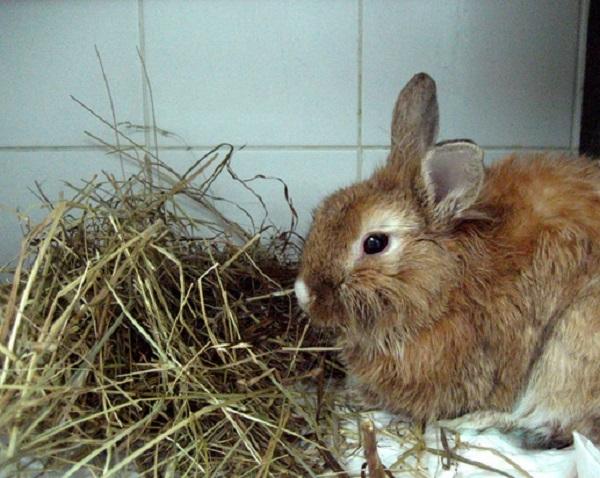 Потеря аппетита у домашнего кролика при инфекционном стоматите
