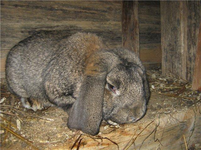 Фото больного кролика с явными симптомами дисбактериоза