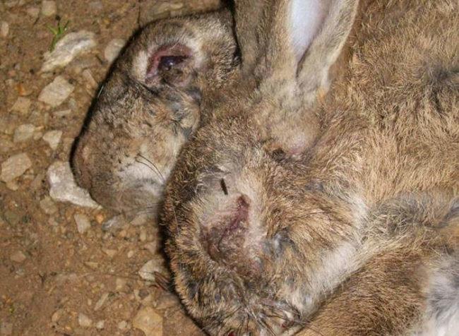 Трупы двух кроликов, умерших от заражения миксоматозом в частном хозяйстве