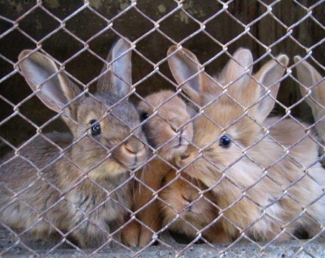 Маленькие крольчата в клетке со стенкой из оцинкованной сетки-рабицы