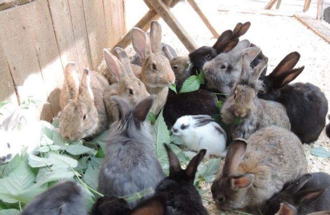 Кормление кроликов зелеными листьями в общем загоне фермерского хозяйства