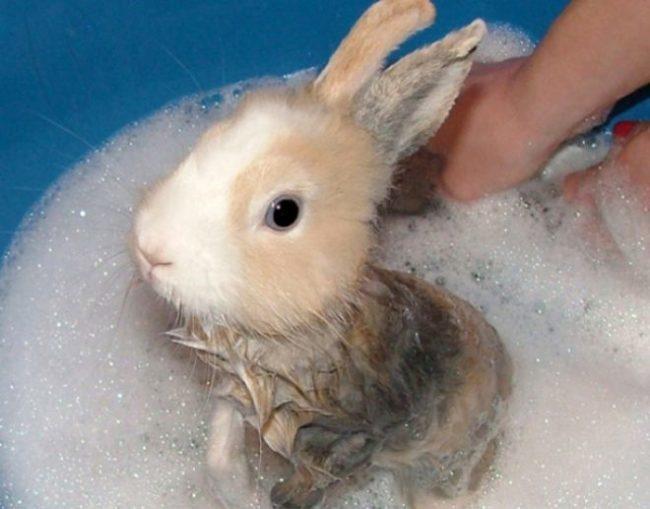 Купание домашнего кролика в растворе поваренной соли при лечении блох