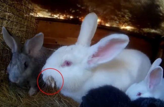Крупная белая крольчиха с мокрой мордочкой в одной клетке с молодняком