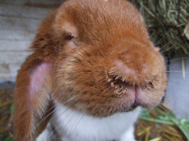 Мордочка декоративного кролика с мокрой шерстью в районе губ и носа