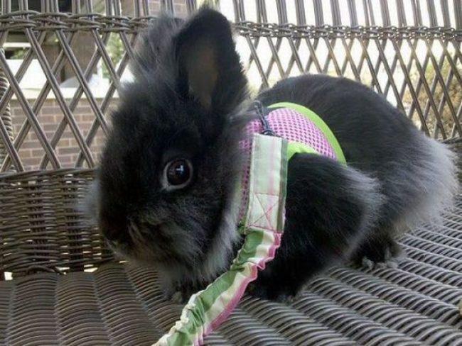 Чёрный декоративный кролик в специальном ошейнике для прогулки