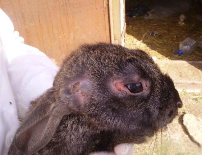 Голова больного кролика с типичными признаками заражения миксоматозом
