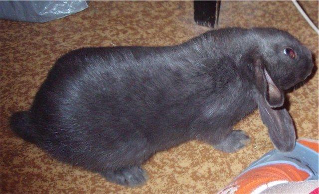 Серо-черный кролик на полу жилой комнаты с признаками перенесенного инсульта