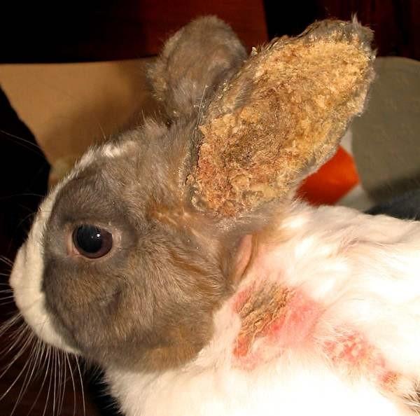 Голова и ухо декоративного кролика с гнойниками при тяжелой форме псоротоптоза