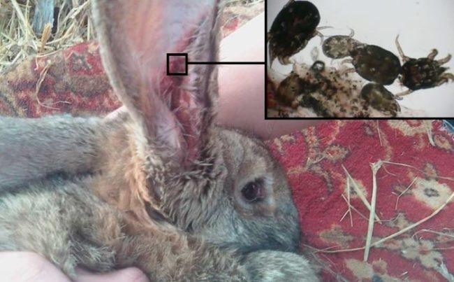 Больное ухо кролика и фото ушного клеща под большим увеличением