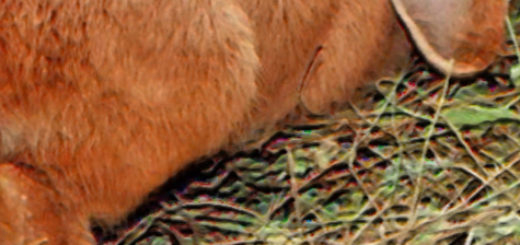 Вздутый живот у кролика при дисбактериозе
