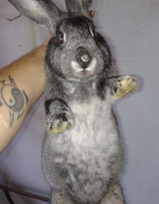 Ветеринар показывает вздутый живот кролика вследствие неправильного питания