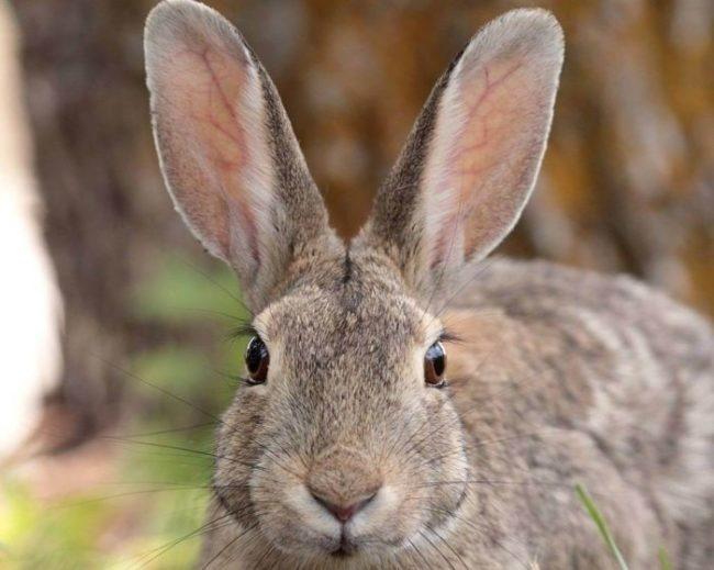Здоровые и чистые уши кролика, не страдающего от псороптоза