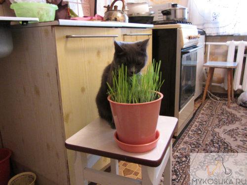 Кошка Гайка рассматривает специальную траву которую вырастили для неё в горшке