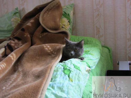 Британская кошка укуталась под одеяло