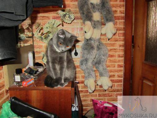 Котёнок британской порода сидит на тумбочке