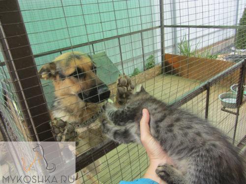 Дружба овчарки и котёнка