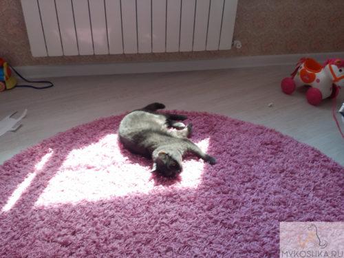 Британская кошка нежится под лучами солнца из окна