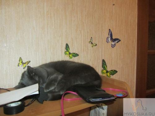 Британская кошка сладко спит на компьютерном столе рядом с хозяином