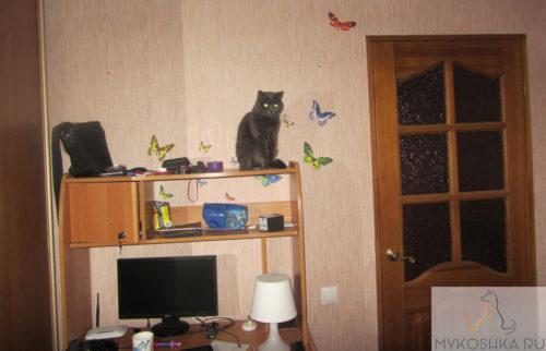Британская кошка сидит на столе и смотрит