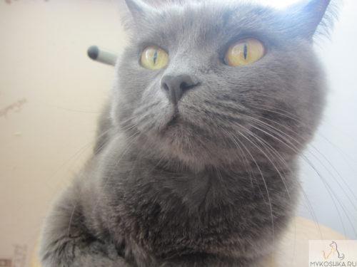 Морда британской кошки вблизи