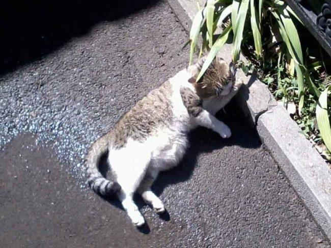 Большой живот у уличного кота лежащего на мокром асфальте летом